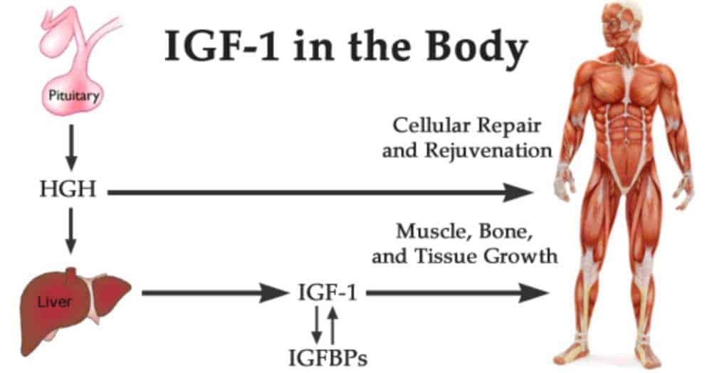 igf 1 vs human growth hormone HGH